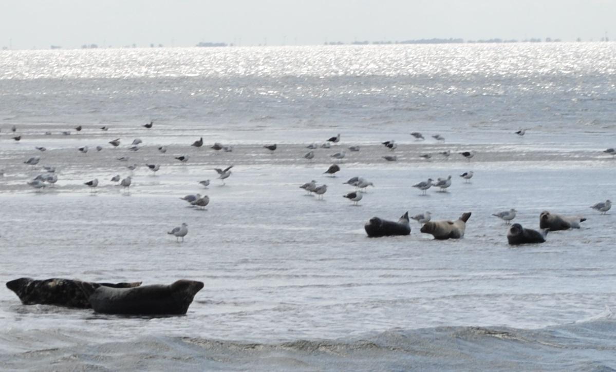 Daar zijn ze dan.... De zeehonden!!