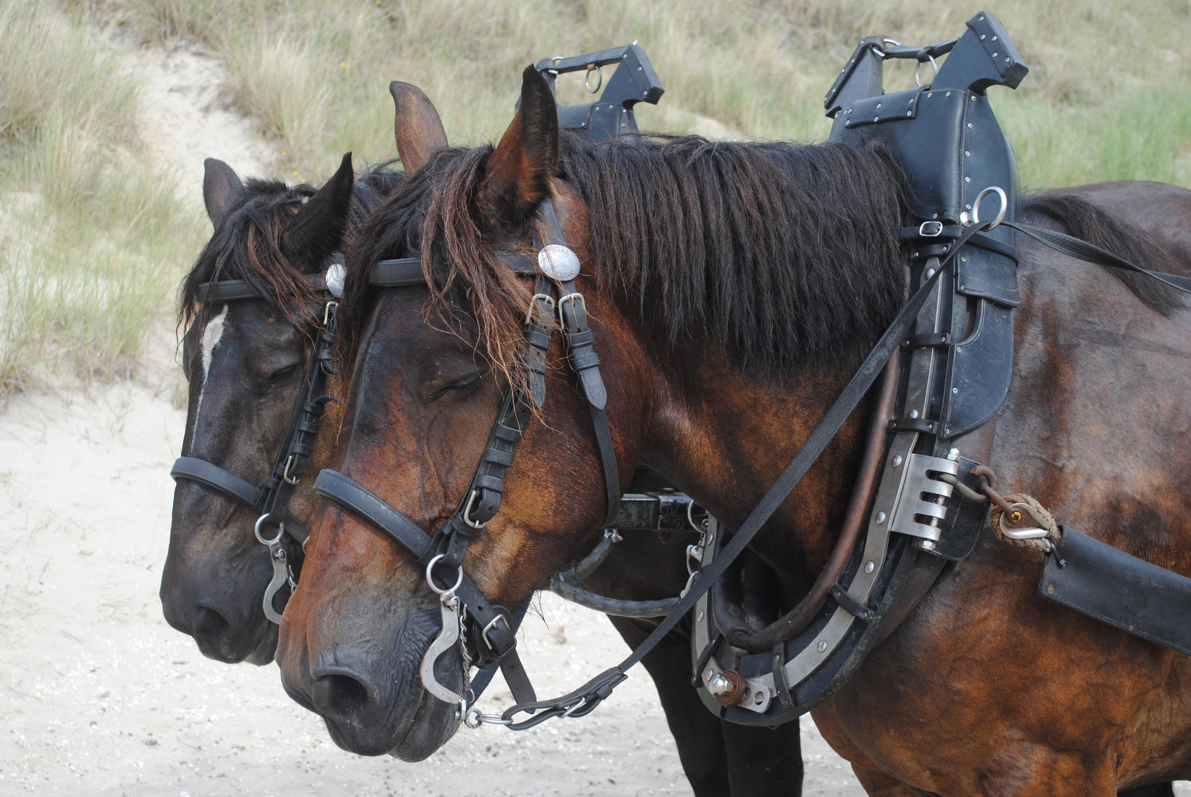 Prachtige Belgische trekpaarden.